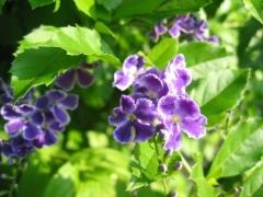 紫、ヒラヒラ