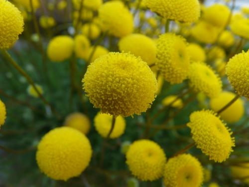 黄色いぽんぽん♪