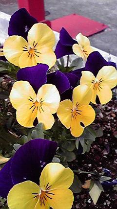 庭の三色スミレ